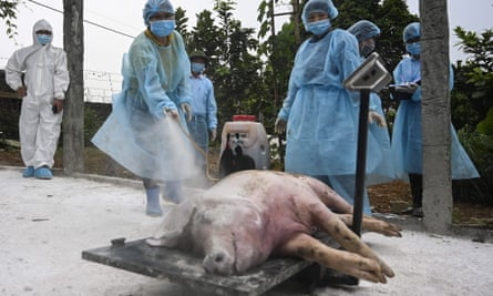 Vietnamese health officials spray disinfectant on a dead pig in Hanoi before burying it in a quarantined pit to stop the spread of African swine fever.