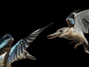 Blue-Wing Kookaburras