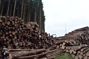 Felled trees in Wolfhopelee