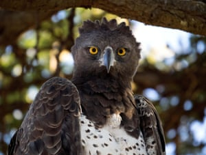 The martial eagle is most commonly found in eastern and southern Africa and is one of the most fearsome of all raptors
