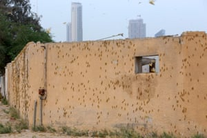 The wall of a building is covered with a swarm of desert locusts that were blown to Kuwait City by strong winds