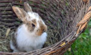 A rabbit in a wicker basket
