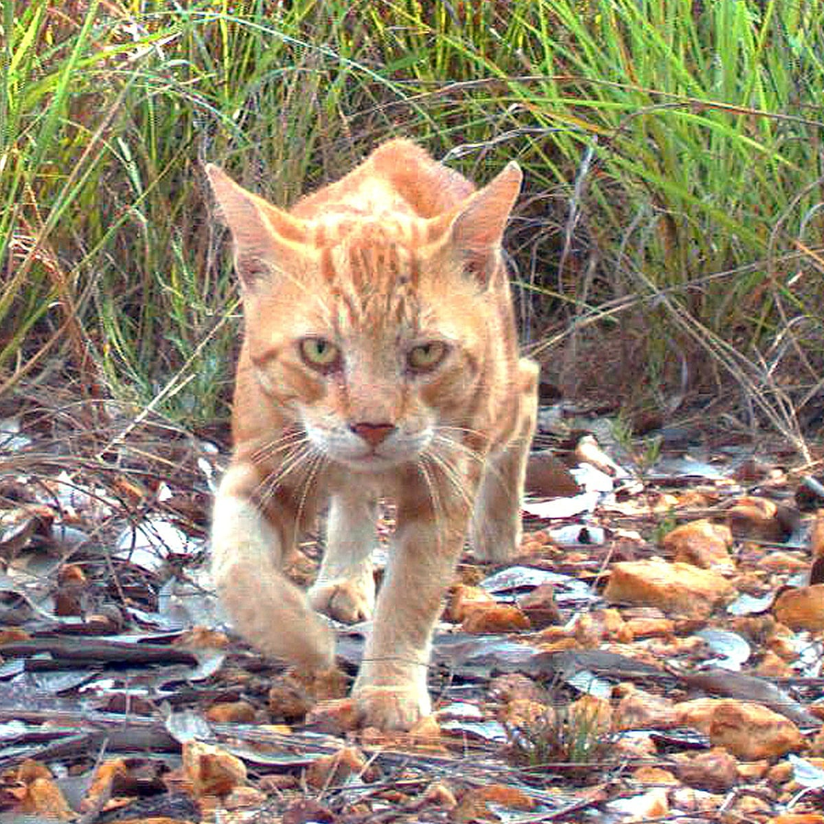 Parasitic Disease Spread By Feral Cats Likely To Be Killing Native Wildlife Environment The Guardian