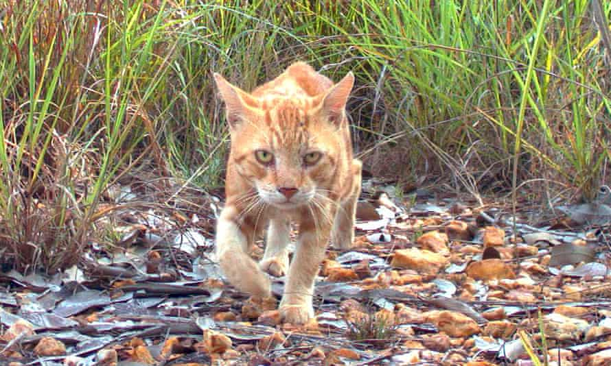 A study on Kangaroo Island suggests feral cats are spreading Toxoplasma gondii
