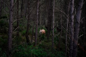 A horse, which was rescued by the Miranda Foundation, roams free in a forest of the Garraf Massif mountain range near Barcelona