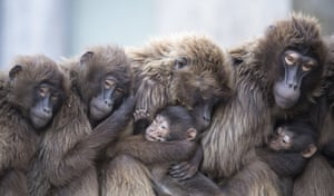 Female gelada baboons, also known as bleeding-heart baboons, cuddle with their young to keep them warm at Wilhelma zoo in Stuttgart, Germany
