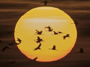 Migrating cranes at sunset near Straussfurt, Germany. The cranes rest in central Germany on their way from breeding places in the north to their wintering grounds in the south