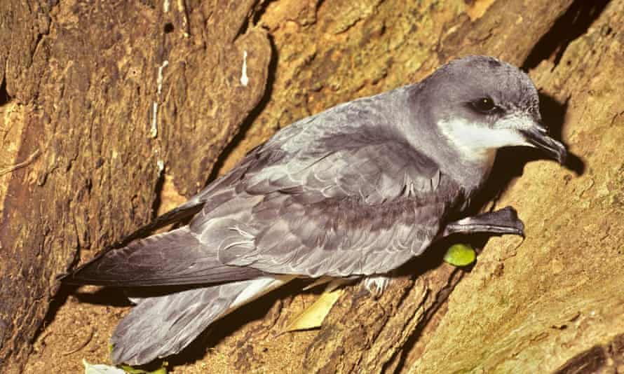 Chatham petrel: downgraded from endangered to vulnerable in 2015.
