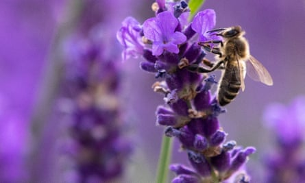 A bee sits on lavender blossoms in a garden, in Vienna, Austria June 26, 2020.