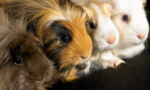 Four guinea pigs sitting in a line