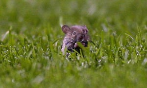 A mouse on the Old Trafford pitch during Manchester United's game with Middlesbrough on 1 May 2006