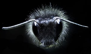 Close-up of a bumblebee showing the antennae and mechanosensory hairs covering its body. Photograph: Gregory Sutton/ Dom Clarke/ Erica Morley/ Daniel Robert