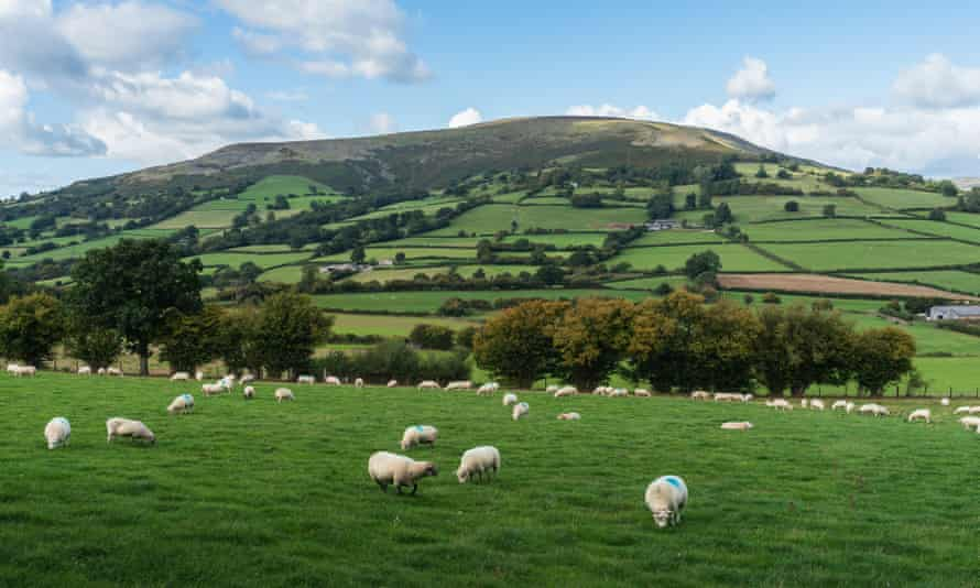Sheep grazing at the foot of a hill in the Black Mountains, Wales.