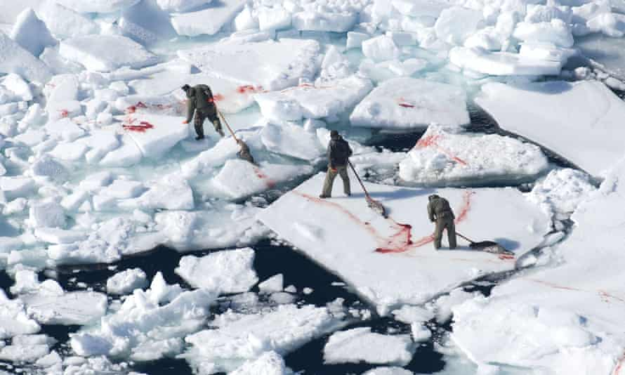 Blood on the ice: hunters in Canada drag dead seals back to their ship.