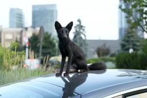 Toronto, Canada: A rare young melanistic fox rests atop a car