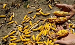 A Serbian farmer Radovan Krstic shows his damaged corn crop.