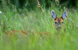 Roe deer doe in the Cotswold Hills