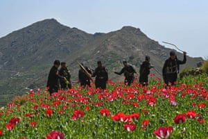 Mohmand district, Pakistan: police personnel destroy poppies that have been cultivated in the Prang Ghar area