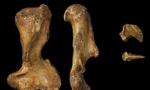The forelimb bones of the palorchestids