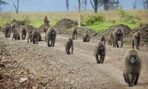 A pride of baboon at Lake Nakuru national park, Kenya.
