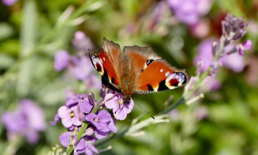 A peacock butterfly in an Oxfordshire garden.