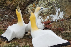 Nigel the gannet who lived and died alone on the uninhabited Mana Island off the north of New Zealand, surrounded by concrete replica gannets