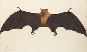 A Great Indian Fruit Bat, or Flying Fox, Calcutta, by Bhawani Das