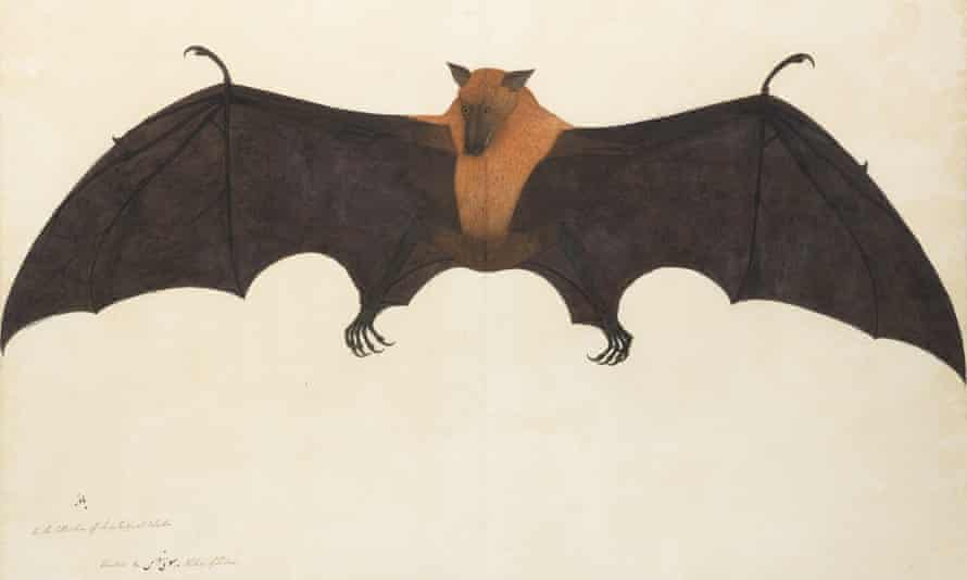 Bhawani Das's A Great Indian Fruit Bat, c 1778-1782.