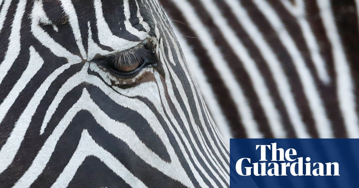 Stripe zone: on the trail of suburban Maryland's elusive zebras