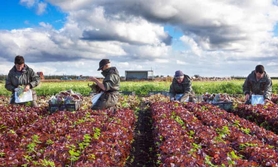 EU nationals working as seasonal migrant farm labourers pick oakleaf lettuce in Tarleton, Lancashire.