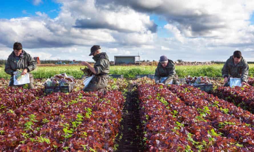 EU nationals pick 'oakleaf' lettuce on a salad farm in Tarleton, Lancashire