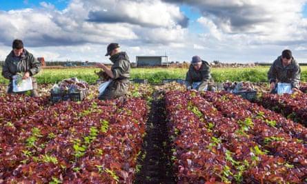 Lettuce pickers on a farm in Lancashire