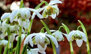 Snowdrops from February this year.