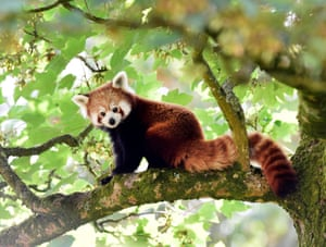 A one-year-old red panda sits in a tree after arriving to a brand-new enclosure at Manor Wildlife Park, St Florence, near Tenby in Wales.