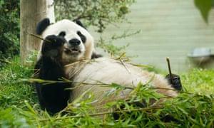 Yang Guang makan bambu di kebun binatang Edinburgh