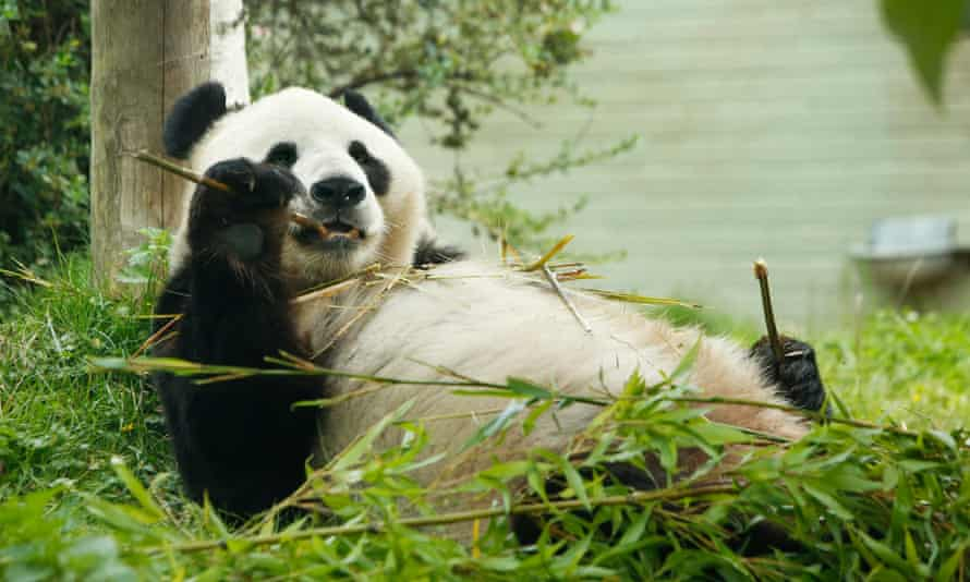 Yang Guang eating bamboo in Edinburgh zoo