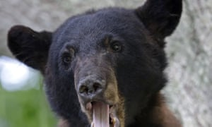 In 1992, the Louisiana black bear was listed under the endangered species act, which provided protection for the animal as well as restoration of some of its habitat.