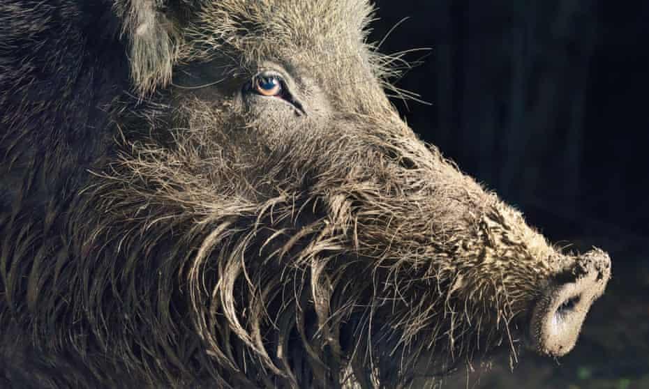 A wild boar sow in muddy woodland.