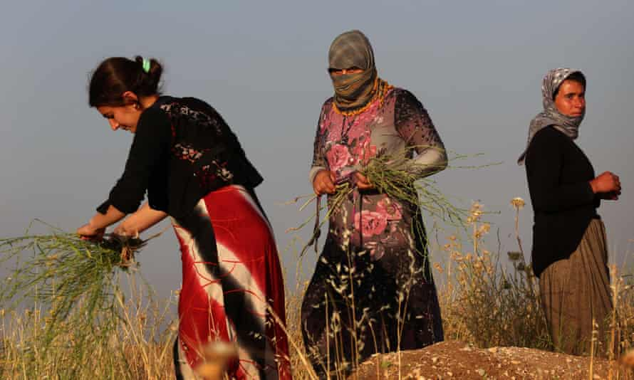 Displaced Yazidi women, who fled IS, gather plants to make brooms in a field near their camp in northern Iraq.