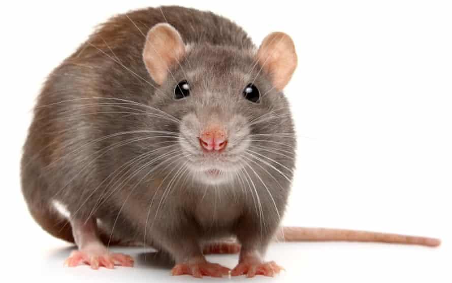 Rat facing camera, against white background
