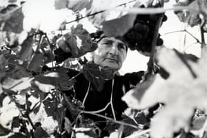 old woman harvesting grapes