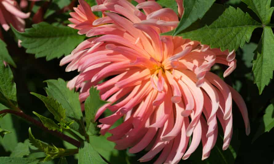 Day-glo: Dahlia 'Ornamental Rays', which first appeared in 1966.