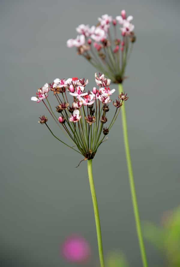 Bit of a rush: Butomus umbellatus in flower.