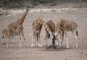 A giraffe calf is born at Monarto zoo in Adelaide, South Australia, to Myeisha. It is the 45th calf to be born at the zoo and the first born in 2019.