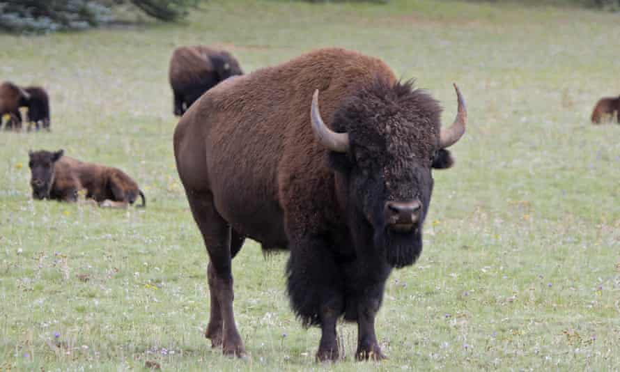 The Grand Canyon national park has approved a plan to reduce the bison herd near the north rim.