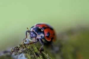 Ladybird eating greenfly