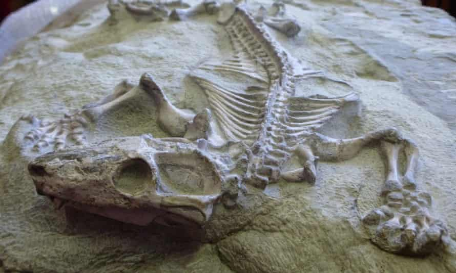 Fossil of a Galesaurus, a cynodont that lived during the Permian period.