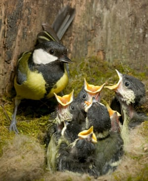 A great tit with lots of hungry mouths to feed