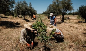 Farm workers in Evora, Portugal, tend to trees that are part of an agroforestry system