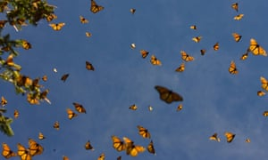 March 18, 2008 in the Oyamel forest at El Rosario sancturay in Angangueo, state of Michoacan, Mexico. Millions of monarch butterflies establish themselves every year in the oyamels of Mexico, after crossing from Canada 4.500 km to hibernate and then to offer majestic air dances in the same forests chosen by they ancestors, a mysterious geographical loyalty yet without scientific explanation. In the last migration, 2006 to 2007, the Monarch buterflies filled around of 6,8 hectare of Oyamel's forest. AFP PHOTO/Luis ACOSTA (Photo credit should read LUIS ACOSTA/AFP/Getty Images)